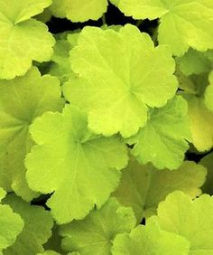 Heuchera Citronelle PP 17934 (Citronelle Coral Bells) : If you like the yellow-leaf coral bells but they haven't proven to be heat-tolerant in your climate, your solution is here. From France's Thierry D...
