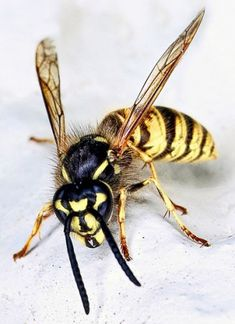 Wasps & aromatic oils - background information! - Anita Smith Home Types Of Insects, Bugs And Insects, Wasp Insect, Insect Identification, Bees And Wasps, Drawings, Image, Iguana Pet, Yellow Jackets