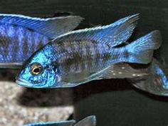cichlid from Lake Malawi