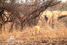 AT1 stalks wildebeest