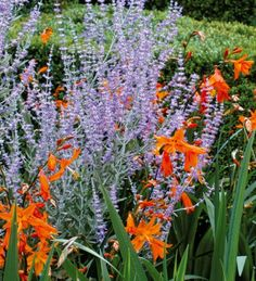 Perovskia 'Blue Spire': Tough plant that is resistant to drought, heat, pests and poor soils (shown with Crocosmia 'Emily McKenzie') Flower Landscape, Landscape Design, Garden Design, Crocosmia, Colorful Garden, Garden Styles, Dream Garden, Garden Planning, Flowers
