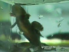 Raising hellbenders at the Saint Louis Zoo