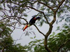 Toucan in a tree, Iguazu Falls Iguazu Falls, South America, Animals, Animales, Animaux, Animal Memes, Animal, Animais, Dieren