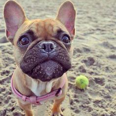 """I said.... throw that Ball NOW"", Feisty French Bulldog Puppy at the Beach ; } #Buldog"