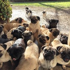 A group of Pugs is called a grumble. And you have to have three or more to be considered one. THIS is definitely a grumble!!