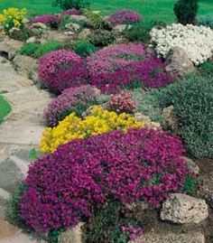 Rock Cress  Full sun or partial shade  Plants should be trimmed lightly immediately after blooming, to encourage a thick mounding habit.  Flowers in spring or early summer. Evergreen