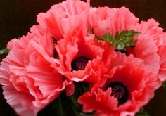 The oriental poppy (Papaver orientale) is a perennial and contrary to what its name suggest is not a native to the Orient but to Turkey - in Caucasus. The plant thrives during droughts and summers because it totally sheds it foliage. The flower also comes in white, pink, red and mutlicolored.