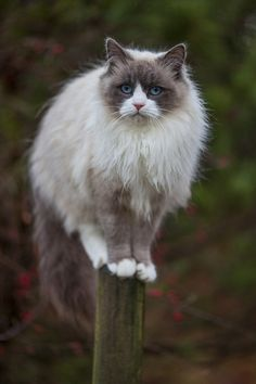 racoon cat, I use to have one with the same coloring and markings, part Siamese.
