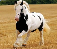 gorgeous wild mustangs | Há centenas de anos que os cavalos de tração vêm sendo usados pelo ...