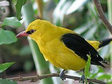 Eurasian Golden Oriole (Golden Oriole): only member of the oriole family of passerine birds breeding in northern hemisphere temperate regions; summer migrant in Europe & western Asia & spends the winter season in central & southern Africa; must cross over more than a thousand miles of Saharan desert
