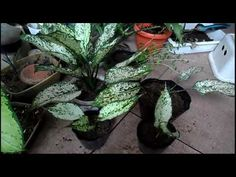 Snow white Aglaonema - Paano Paramihin - YouTube Mothers, Snow White, Tutorials, Gardening, Youtube, Plants, Snow White Pictures, Lawn And Garden, Sleeping Beauty