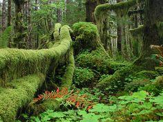 Quinault Rainforest   Old photo of a lush Washington State rainforest scene. Olympic National Park, Washington, USA