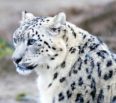 Why do we call them Snow Leopards?