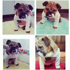 Our American boy Levi Blue Bulldog, Love Pet, Bulldog Puppies, Low Key, English, Pets, American, Animals, Animales