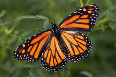 https://flic.kr/p/FnYhdf | Monarch (Danaus plexippus) | One of the best known butterflies. the Monarch is the only butterfly that annually migrates both north and south as birds do, on a regular basis. Nut no single individual makes the entire round-trip journey.