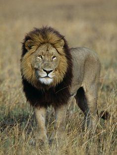 Kafue National Park, Mature Male Lion with Full Dark Mane on Busanga Plain, Zambia