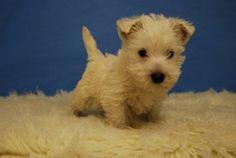 Westie puppy ugh Ive got puppy fever BAD! Westie Puppies, Cute Puppies, Dogs And Puppies, Doggies, Little Puppies, Little Dogs, I Love Dogs, Puppy Love, West Highland Terrier