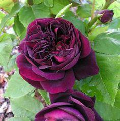 Souvenir d'Alphonse Lavallée Remontant ros 120-150 cm, 2 st. / meter remonterande Zon 3 hårdför, böj ner grenen för mer blommor
