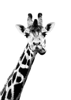 black and white photography A trendy and humorous poster with the photograph of a chewing giraffe. Great for combining with other black and white motifs in a gallery wall. Discover all our black and white prints in our Black and White category. Black And White Picture Wall, Animals Black And White, Black And White Posters, Black And White Wallpaper, Black And White Prints, Black Aesthetic Wallpaper, Black And White Aesthetic, Black Walls, Black And White Pictures