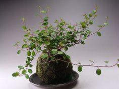 "ii-ne-kore: kokedama- I adore ""angel wire vine"", particularly designed like this!"