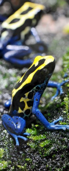 Colorful poisonous frogs