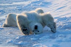 A polar bear stretches out on the ice in Hudson Bay, Canada, raising his arms above his head and lying flat on his back. The polar bears gather on the west side of Hudson Bay, Canada during October and November, in anticipation of the freeze-up of the Bay Tier Wolf, Funny Animals, Cute Animals, Funny Pets, Animal Captions, Love Bear, Mundo Animal, Pet Birds, Animal Kingdom