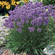 Enjoy dramatic, ball-shaped blooms in rosy purple hues with Millenium Allium in your garden. It makes a bold impression in garden beds, perennial borders and pat Garden Shrubs, Herb Garden, Shade Garden, Garden Plants, Rockery Garden, Big Garden, Garden Beds, Garden Care, Culture D'herbes