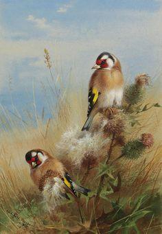 '金翅雀在蓟', 水彩 通过 Archibald Thorburn (1860-1935, United Kingdom)