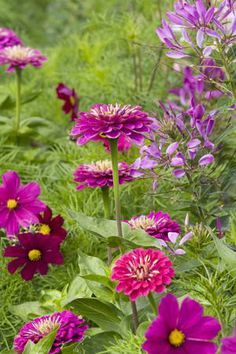 Grow Together: Zinnia, Cosmos and Cleome - colourful combination #plants Draw beneficial insects to the garden