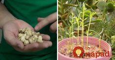 Kupujte drahé pistácie? Takto jednoducho ich môžete pestovať aj doma, z pistácie z obchodu! Garden Plants, Indoor Plants, Modern Food, Edible Garden, Orchids, Diy And Crafts, Gardening, Flowers, Cement