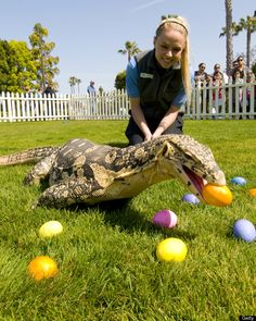 Clyde, an Asian water monitor went on an early Easter egg hunt, with the help of SeaWorld trainer Caroline Smith at SeaWorld San Diego on April 6, 2012 in San Diego, California. He gobbled up several eggs on the grassy area of Animal Connections, where he often can be seen as part of impromptu encounters. Asian water monitors, native to marshes and riverbanks throughout southern Asia, are good climbers and sometimes feed on eggs from bird's nests.