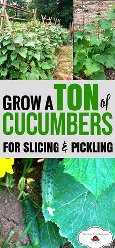 How to grow cucumbers in your garden. Growing cucumbers is very easy. Cucumbers are on my easy to grow vegetables list.