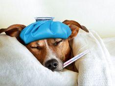 Eine Erkältung beim Hund ist ernstzunehmen. Ein Tierarzt kann helfen
