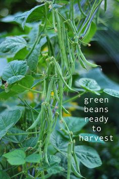 learn how to grow you own green beans in your backyard! get outside and enjoy nature how to garden on link.