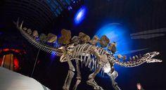 بالصور.. عرض هيكل عظمي نادر لــ #ديناصور عمره 150 مليون عام في لندن