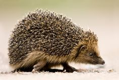 Hedgehog at North Burlingham. Contributed by: Peter Mallett
