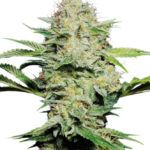 AutoFlower Sensi Skunk Seeds, Autoflowering Cannabis seeds