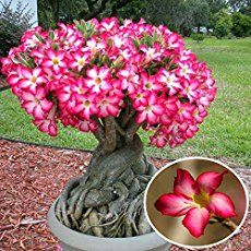how to take care of adenium plant