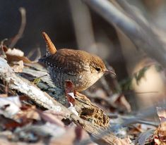 Google Image Result for http://ironphoenix.org/gallery/birds/songbirds/wrens/winter/winter_wren_1.jpg