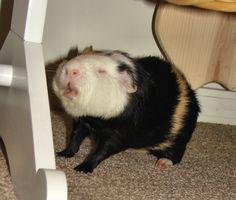 sternutation:    Guinea Pig