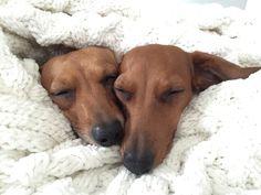 """Heaven is a place called blankie. Dachshund Funny, Dachshund Puppies, Dachshund Love, Cute Puppies, Dogs And Puppies, Cute Dogs, Daschund, Beagle, Corgi"