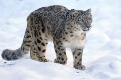 Snow Leopard, Predator, Cat