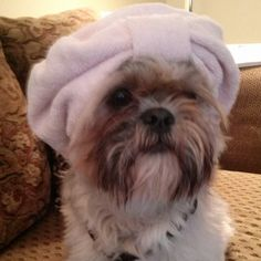 Ready for the spa! Shih Tzu love!