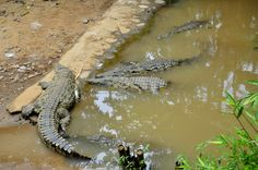 #coccodrilli #andilanabeach #NosyBe #Madagascar