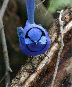 Fairy Wren in Australia