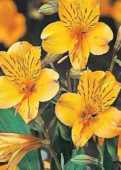 Peruvian Lily ~ Alstroemeria