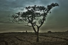 Lonely tree, at Pangalengan, Indonesia. Photography by Adam Abdillah P #tree #photography #nature #edited
