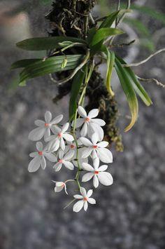 Bela e valorizada no mundo das orquídeas, a Aerangis Luteoalba var. rhodosticta se desenvolve bem em galhos e troncos de árvores, por...
