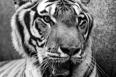 Fotografar animais de estimação é sempre sensacional, mas fotografar um animal selvagem é indescritível! Aqui apresento algumas fotos de Tom, um lindo tigre macho que conheci há pouco tempo e que tive a sorte de registrar com as minhas lentes!