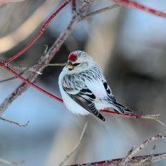 Arctic Redpoll | World-Birds.com